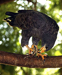 210-cuban-black-hawk